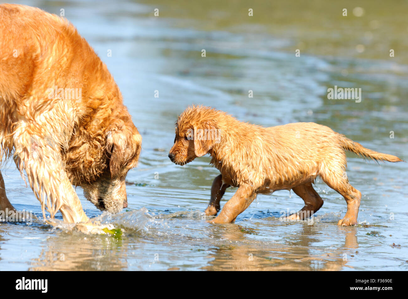 First Day At Beach For Golden Retriever Puppy Aged 9 Weeks With Older Stock Photo Alamy