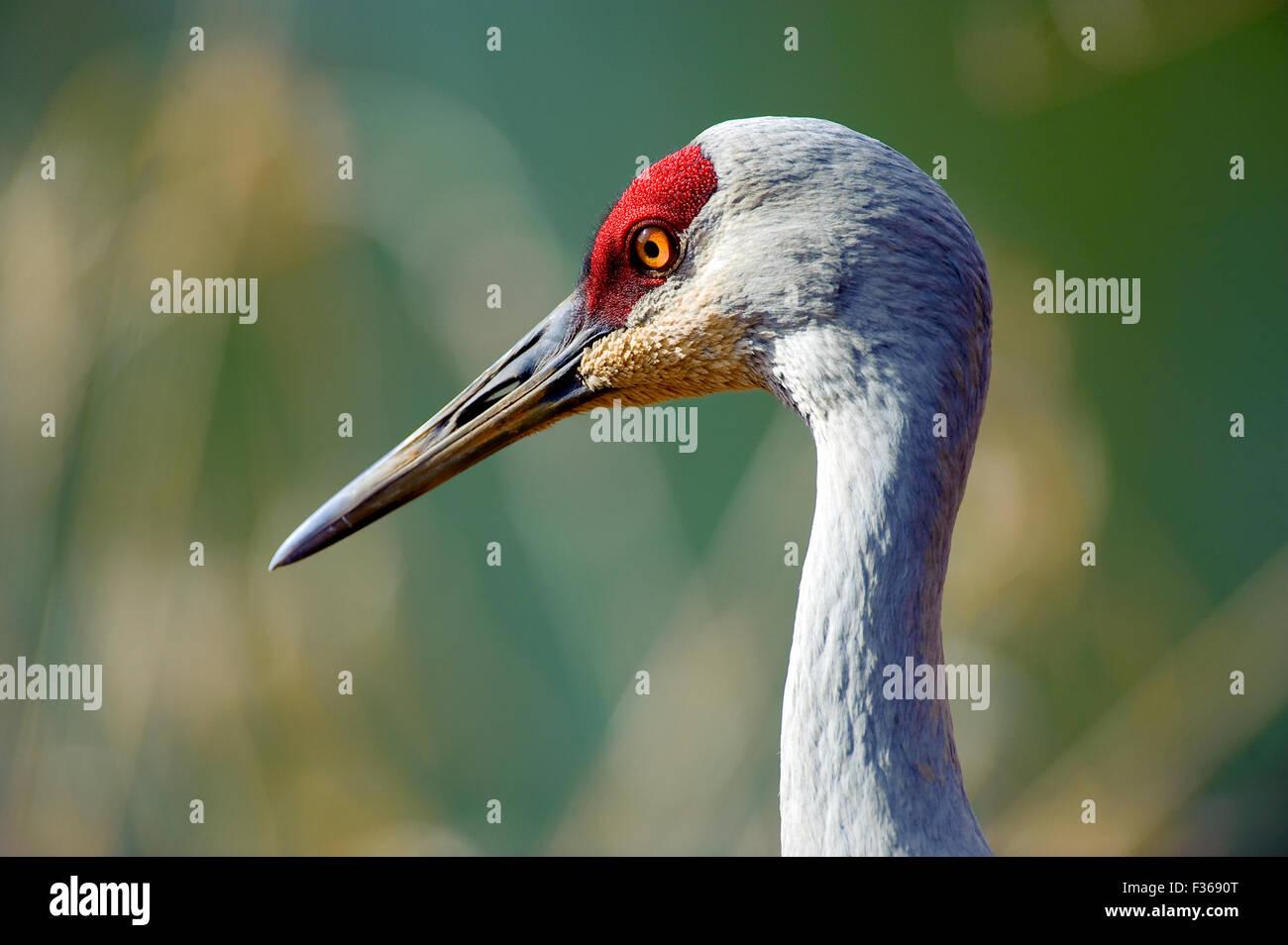 Sandhill Crane (Grus canadensis), George C Reifel Migratory Bird Sanctuary, Vancouver , British Columbia, Canada - Stock Image