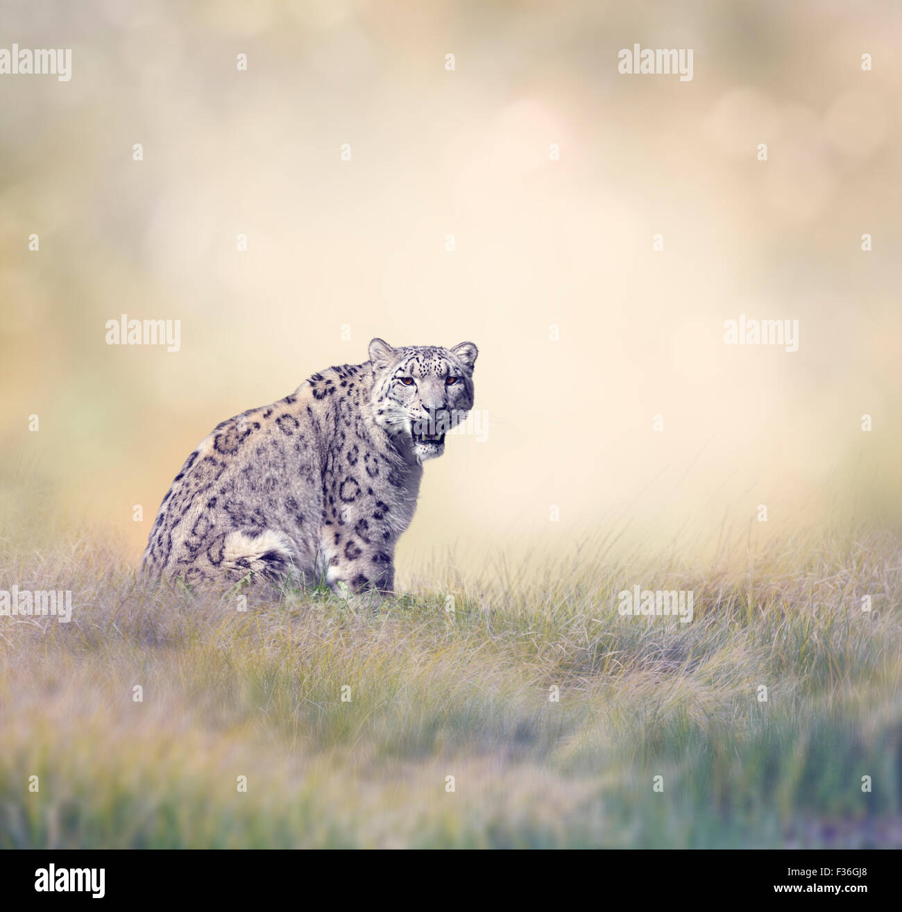 Snow Leopard in the Grass - Stock Image