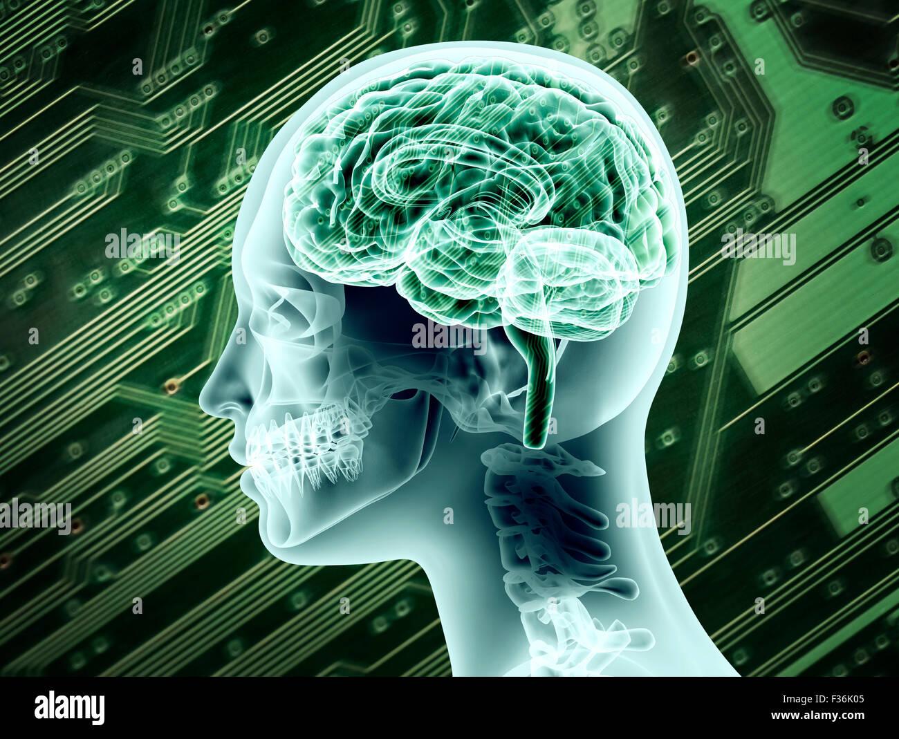 Illustrative representation of female brain anatomy. - Stock Image