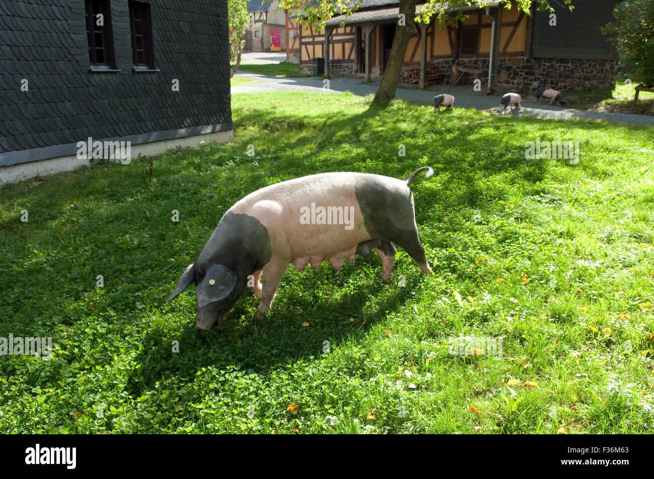 Sattelschwein, Deutsche, Nutztierrasse, - Stock Image