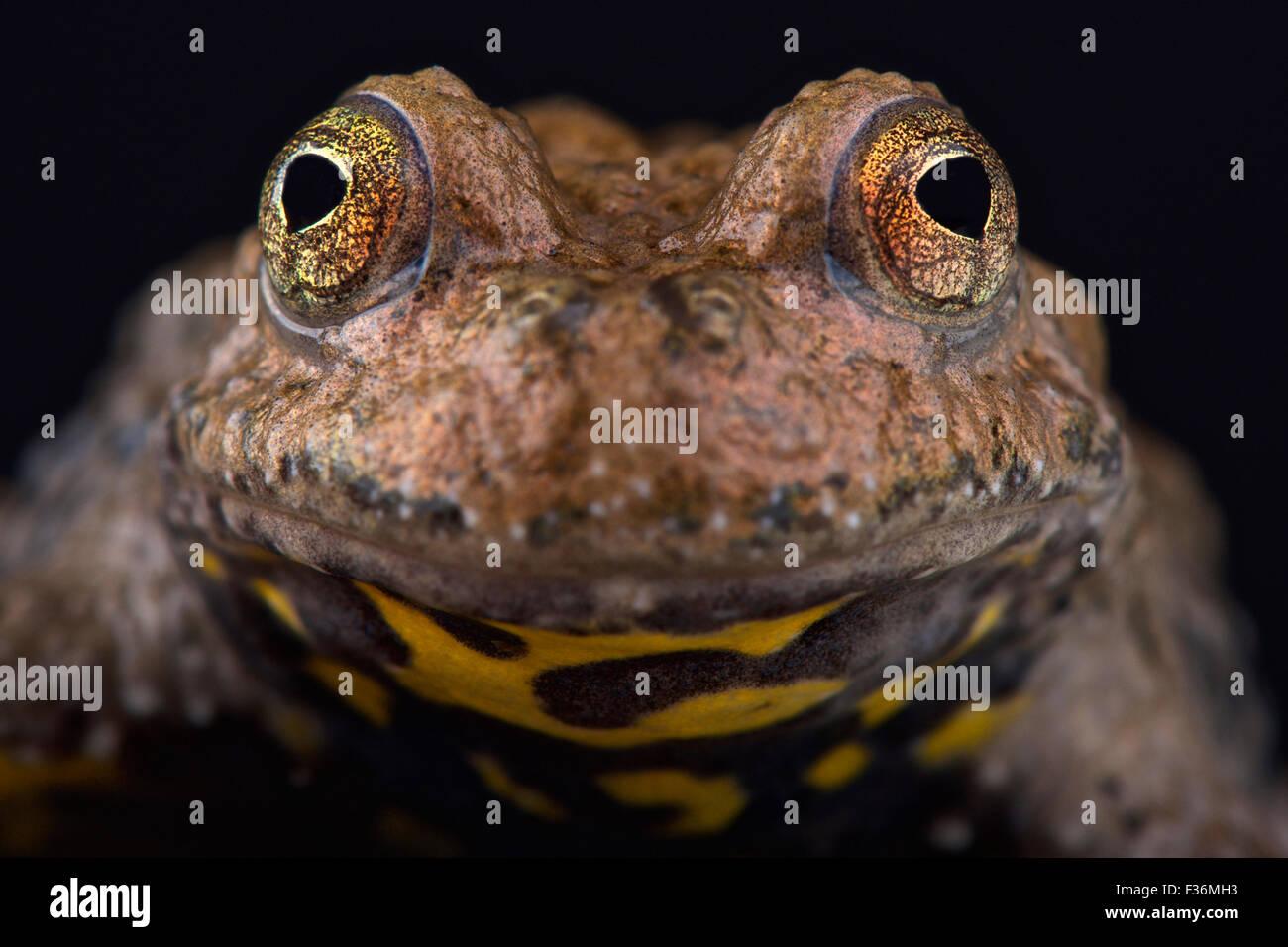 Yunnan fire-bellied toad (Bombina maxima) - Stock Image