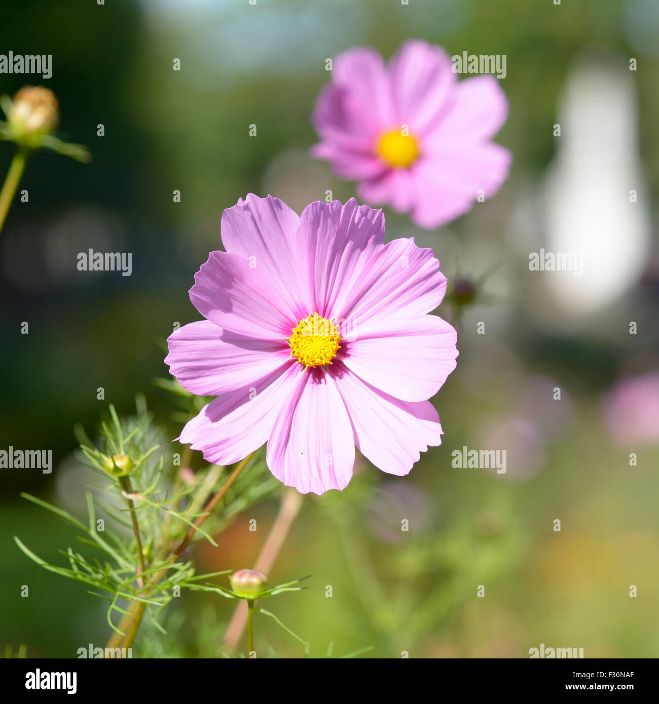 Pink Cosmos With Yellow Center Cosmos Bipinnatus Flower Stock