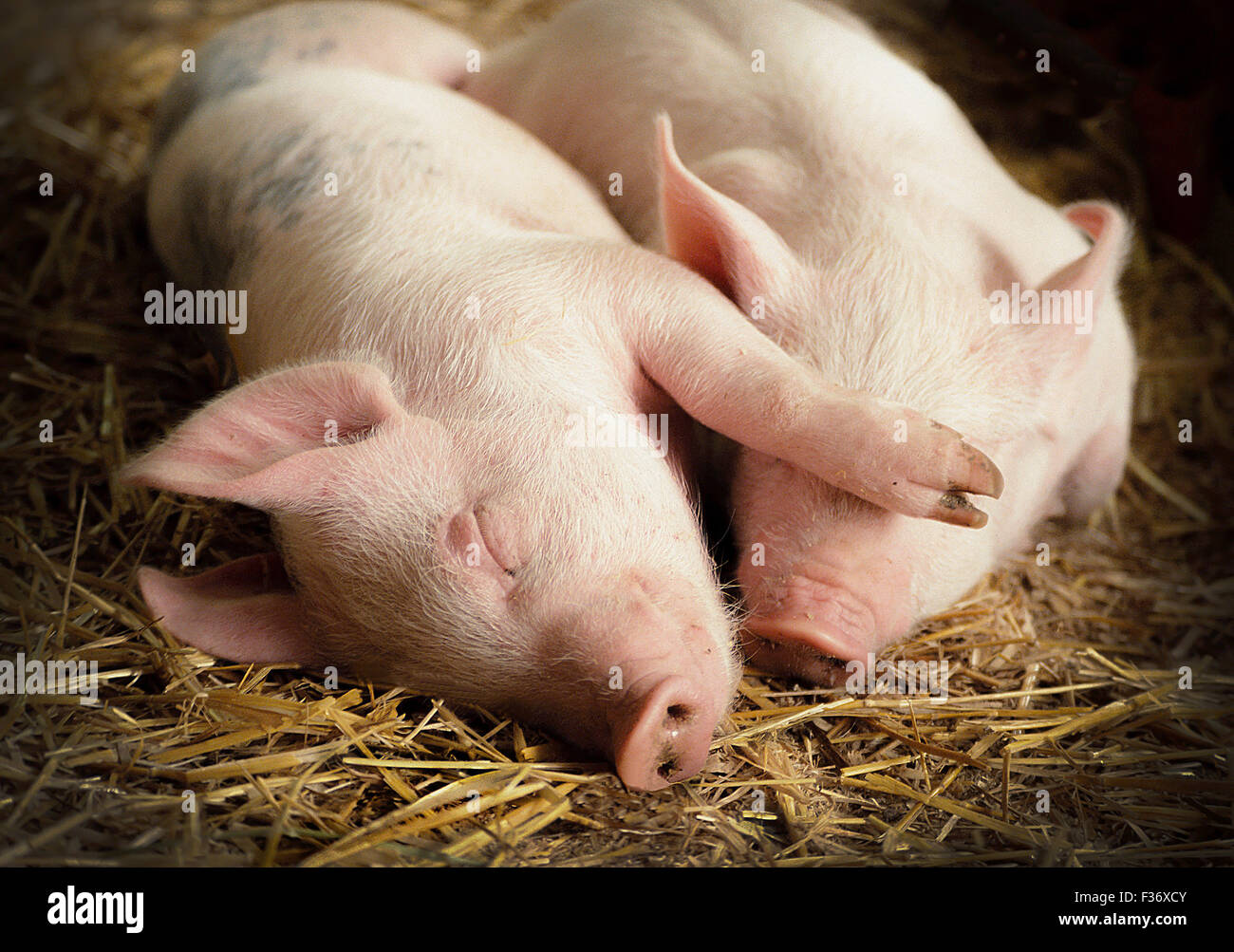 2 baby farm animals pink pigs, eyes closed, lay sleeping close together on straw. One piggy has its arm over the - Stock Image