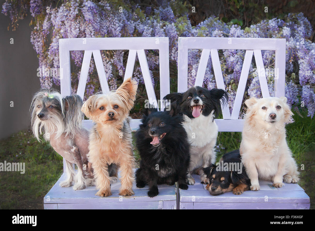 Assortment of 6 small dogs from a rescue group sit on lavendar barn wood chairs in front of wisteria vine floral - Stock Image