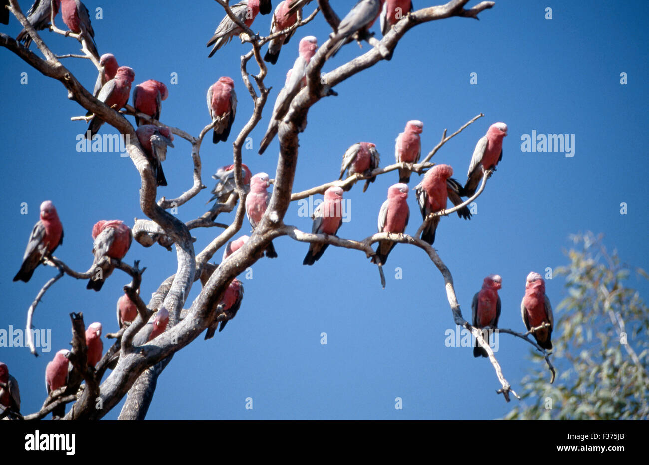 FLOCK OF GALAHS (CACATUA ROSEICAPILLA) ROOSTING IN A TALL TREE, A FAMILIAR SIGHT IN INLAND AUSTRALIA. - Stock Image