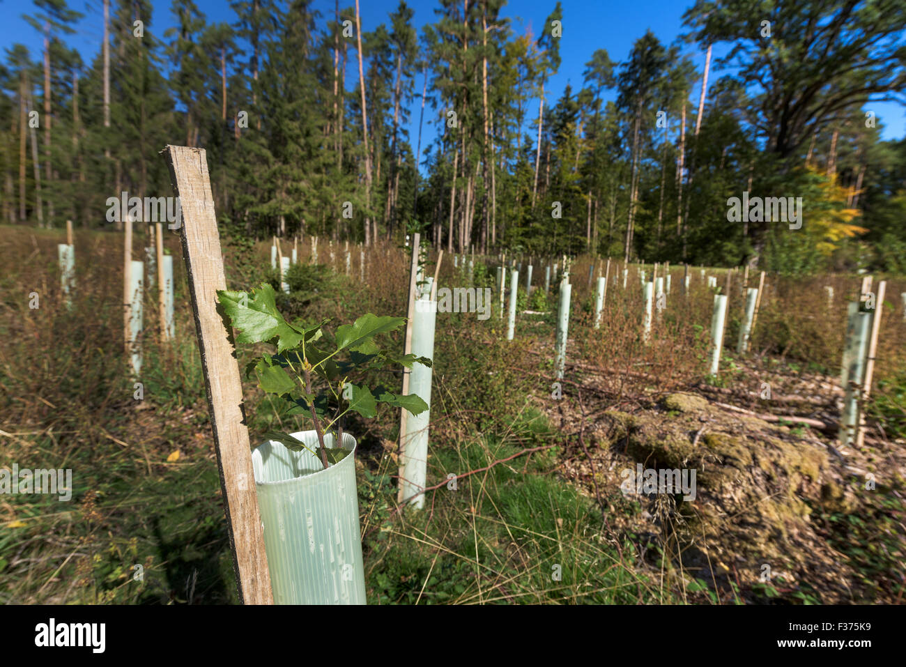 reforestation small saplings tube sapling tree forest protection from wild game bite, renew seedlings protection - Stock Image