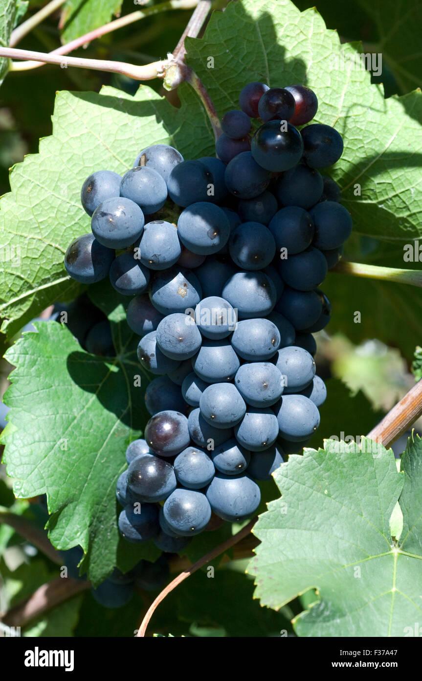 Sangiovese, Rotwein, Rote, Weintrauben, Weintraube, Stock Photo