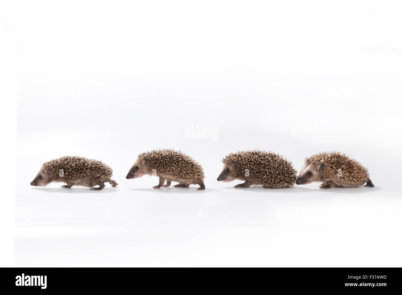 European hedgehog (Erinaceus europaeus), four young hedgehogs walking in a line, captive - Stock Image