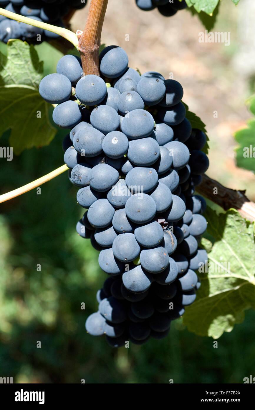 Syrah, Rotwein, Rote, Weintrauben, Weintraube, Stock Photo