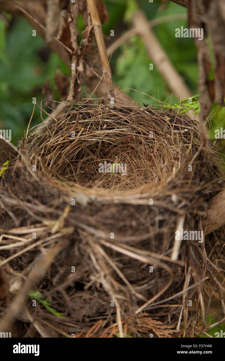 An empty nest of a blackbird, in a Scottish garden. - Stock Image