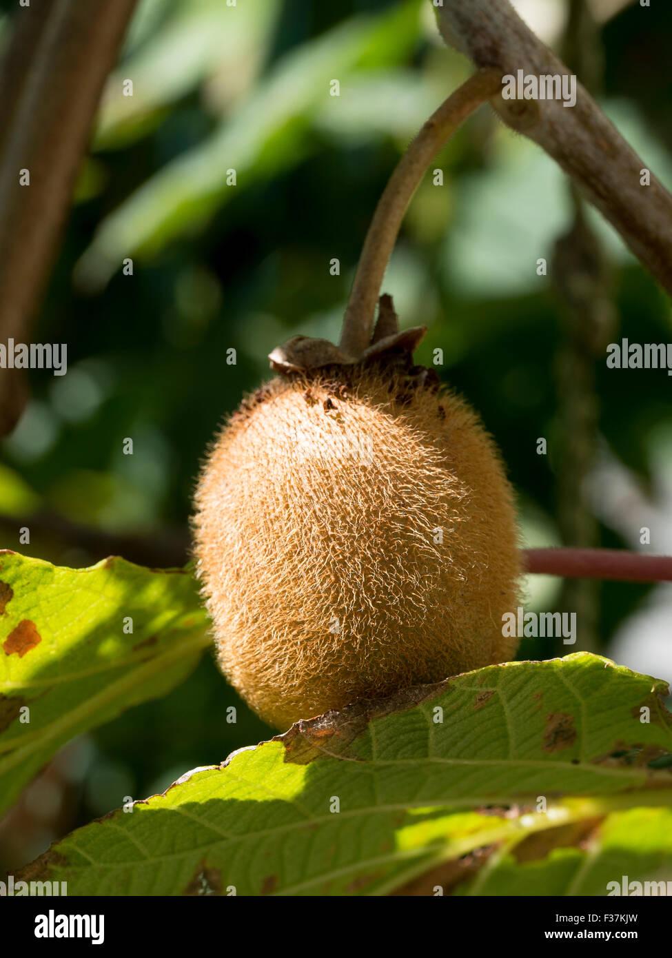 Ripe kiwi on the tree - Stock Image