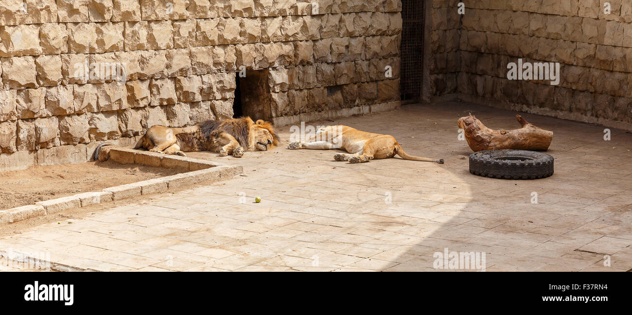 Lion and Lioness sleep after a hearty lunch at the zoo - Stock Image