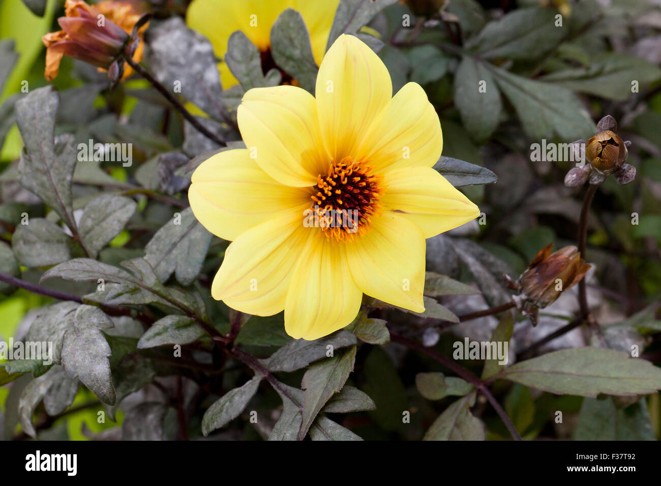 Dahlia hybrid 'Mystic Illusion' - USA - Stock Image