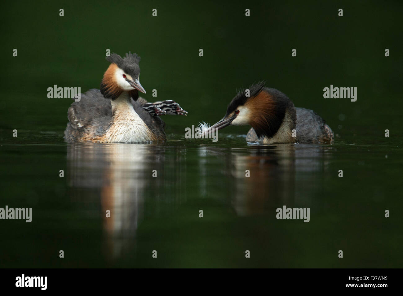 A pair / family of Great Crested Grebe / Haubentaucher ( Podiceps cristatus ) feeding its juveniles / chicks with - Stock Image