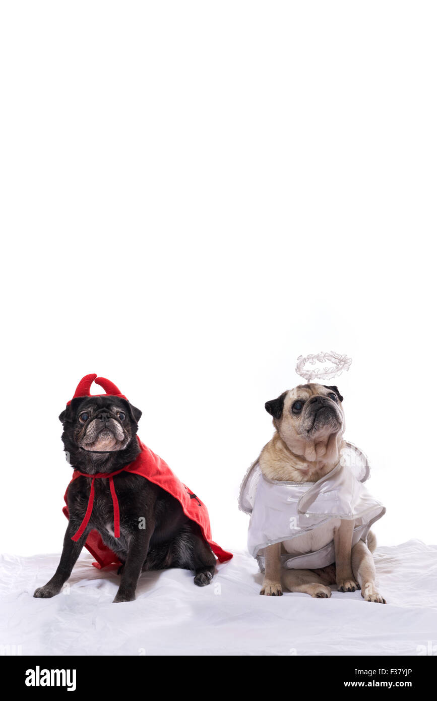 Two pug dogs, black and fawn color, dressed up in an angel and devil costume - Stock Image