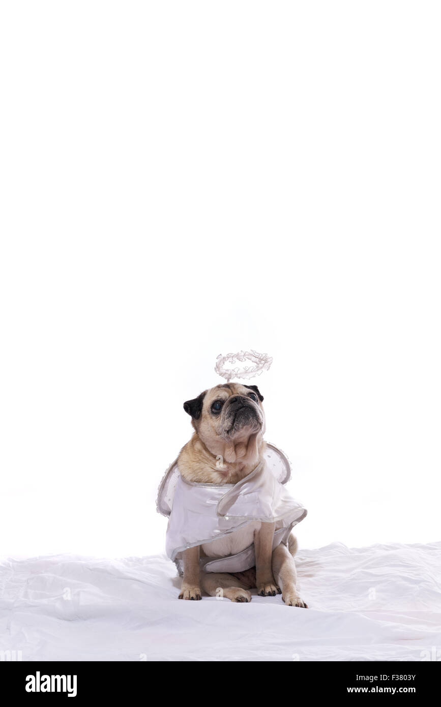 Pug dog in an angel costume - Stock Image