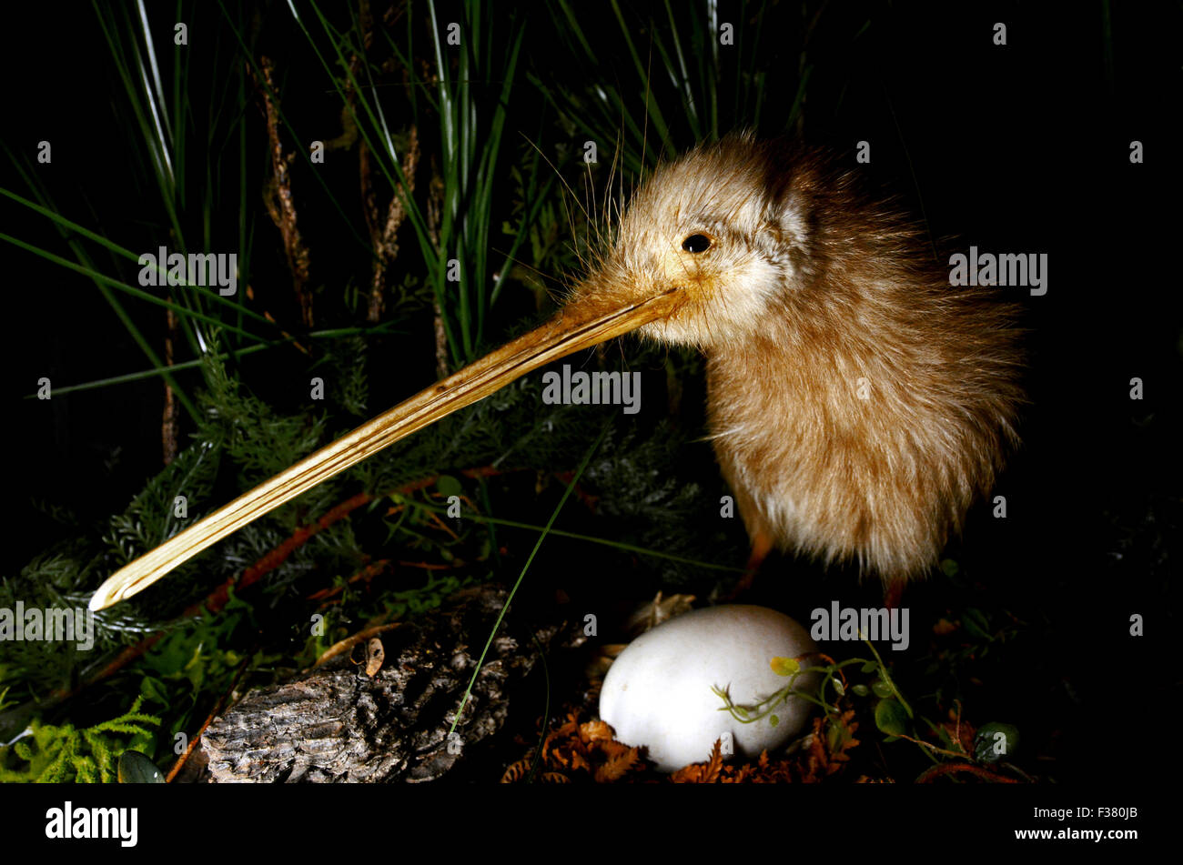 Kiwi bird and an egg in New Zealand. - Stock Image