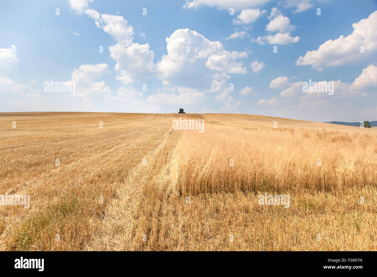 Rural landscape with a harvester reaping a wide wheat field in a hot summer day. The machine is moving directly - Stock Image