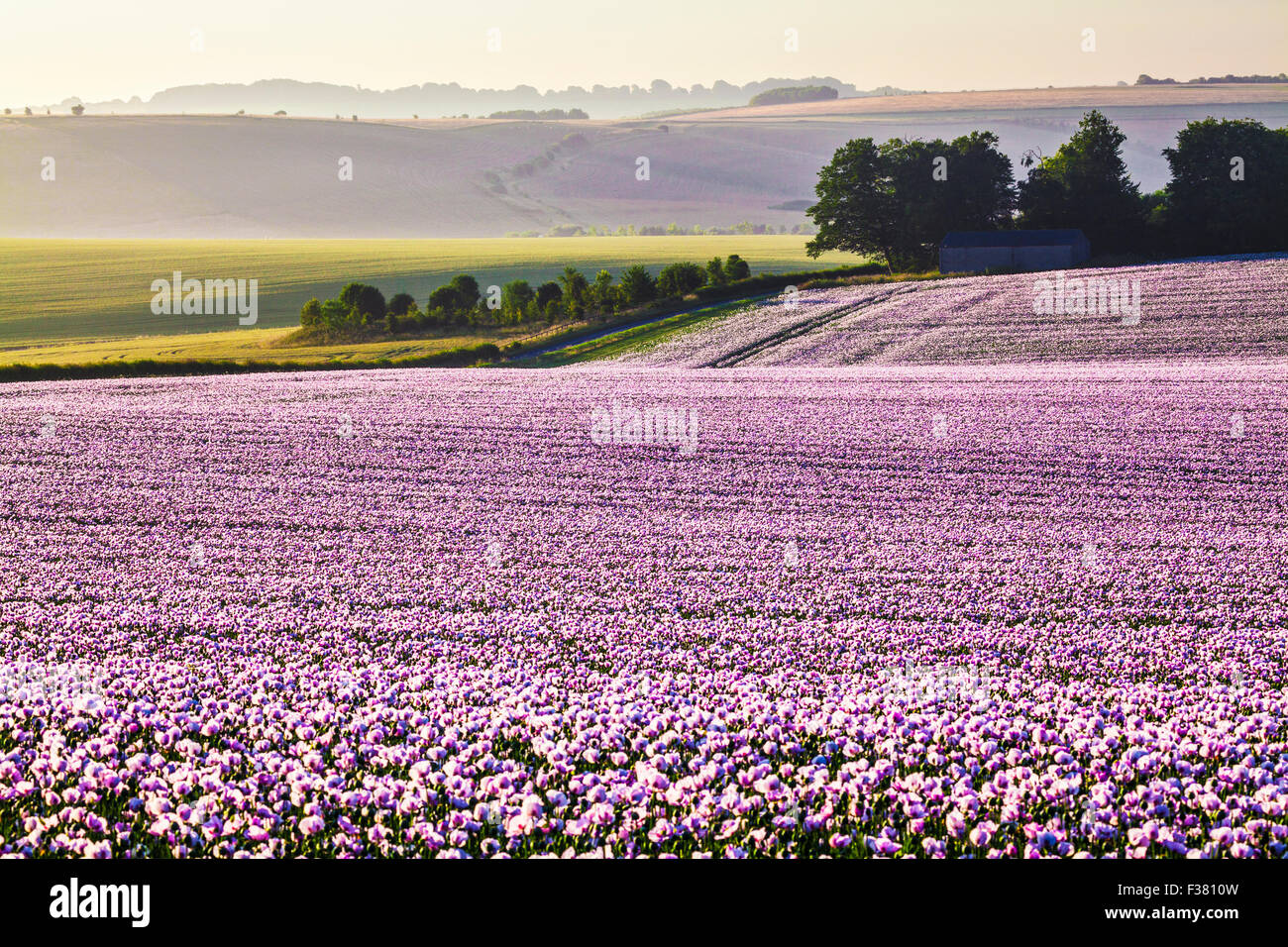 Sunrise over a field of cultivated white poppies on the Marlborough Downs in Wiltshire. Stock Photo