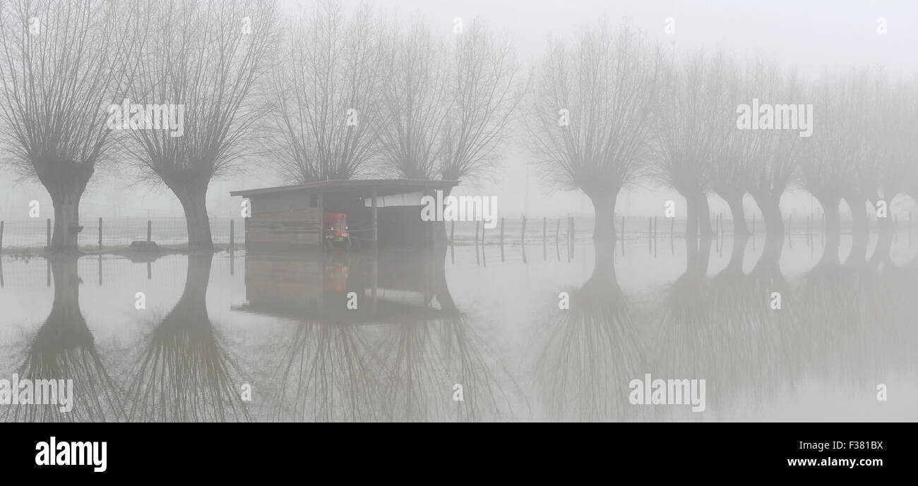 Red tractor in flooded meadows with willows near the Dender river in Geraardsbergen. Stock Photo