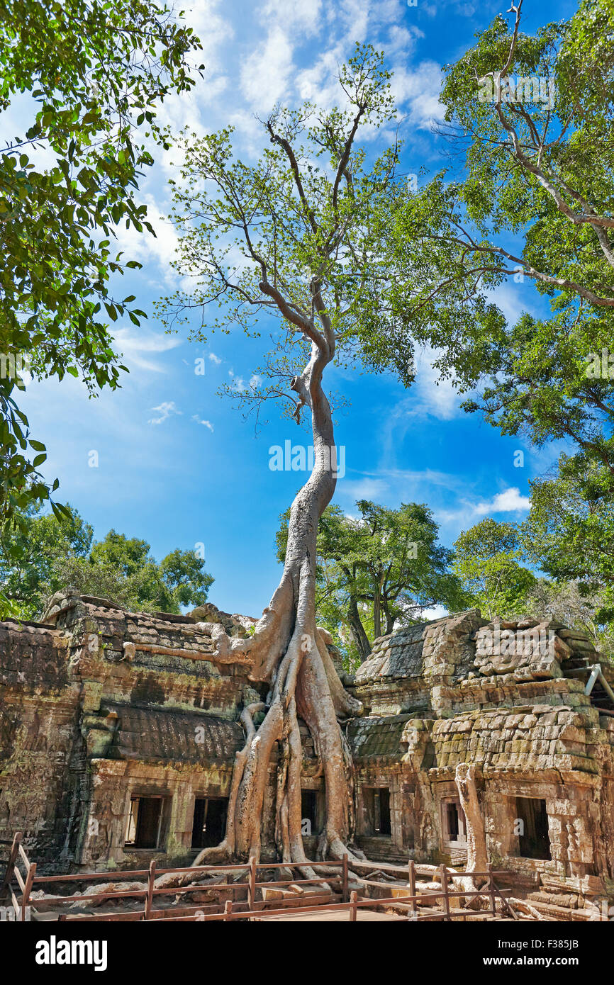 Giant tree growing on the ruins of Ta Prohm temple. Angkor Archaeological Park, Siem Reap Province, Cambodia. - Stock Image