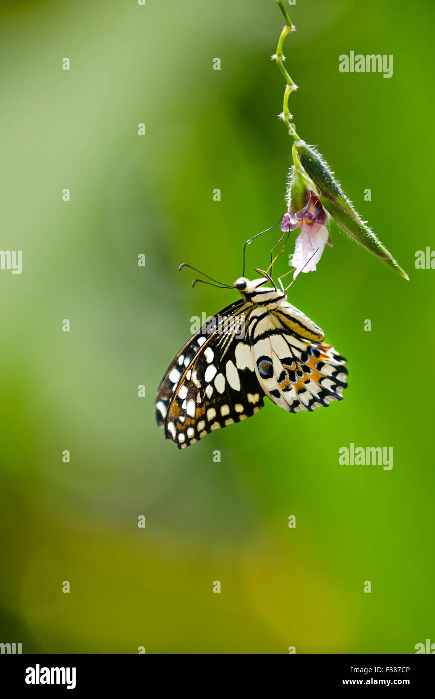 Lemon Butterfly. Scientific name: Papilio demoleus. Banteay Srei Butterfly Centre, Siem Reap Province, Cambodia. - Stock Image