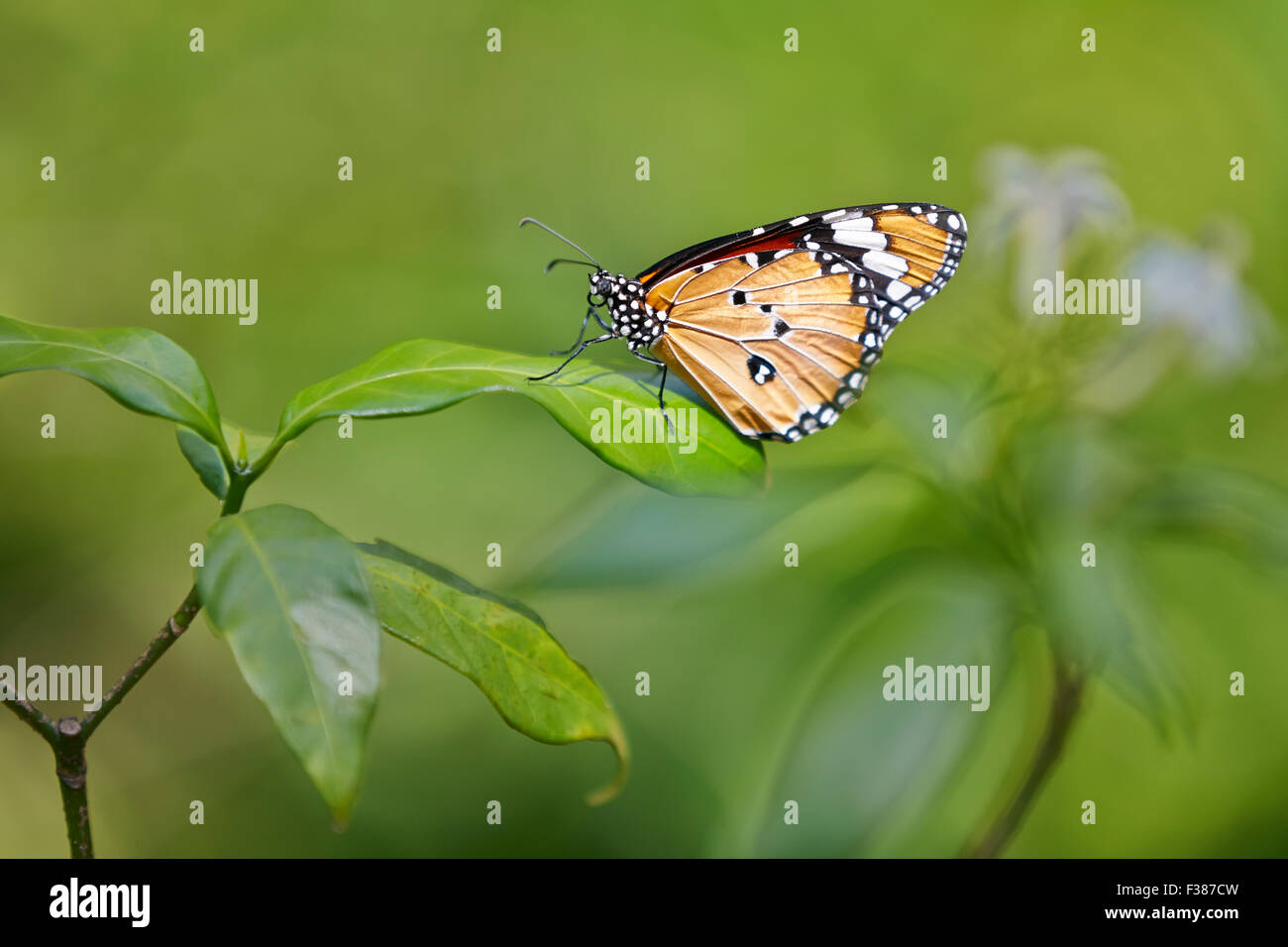 Plain Tiger Butterfly. Scientific name: Danaus chrysippus. Banteay Srei Butterfly Centre, Siem Reap Province, Cambodia. - Stock Image