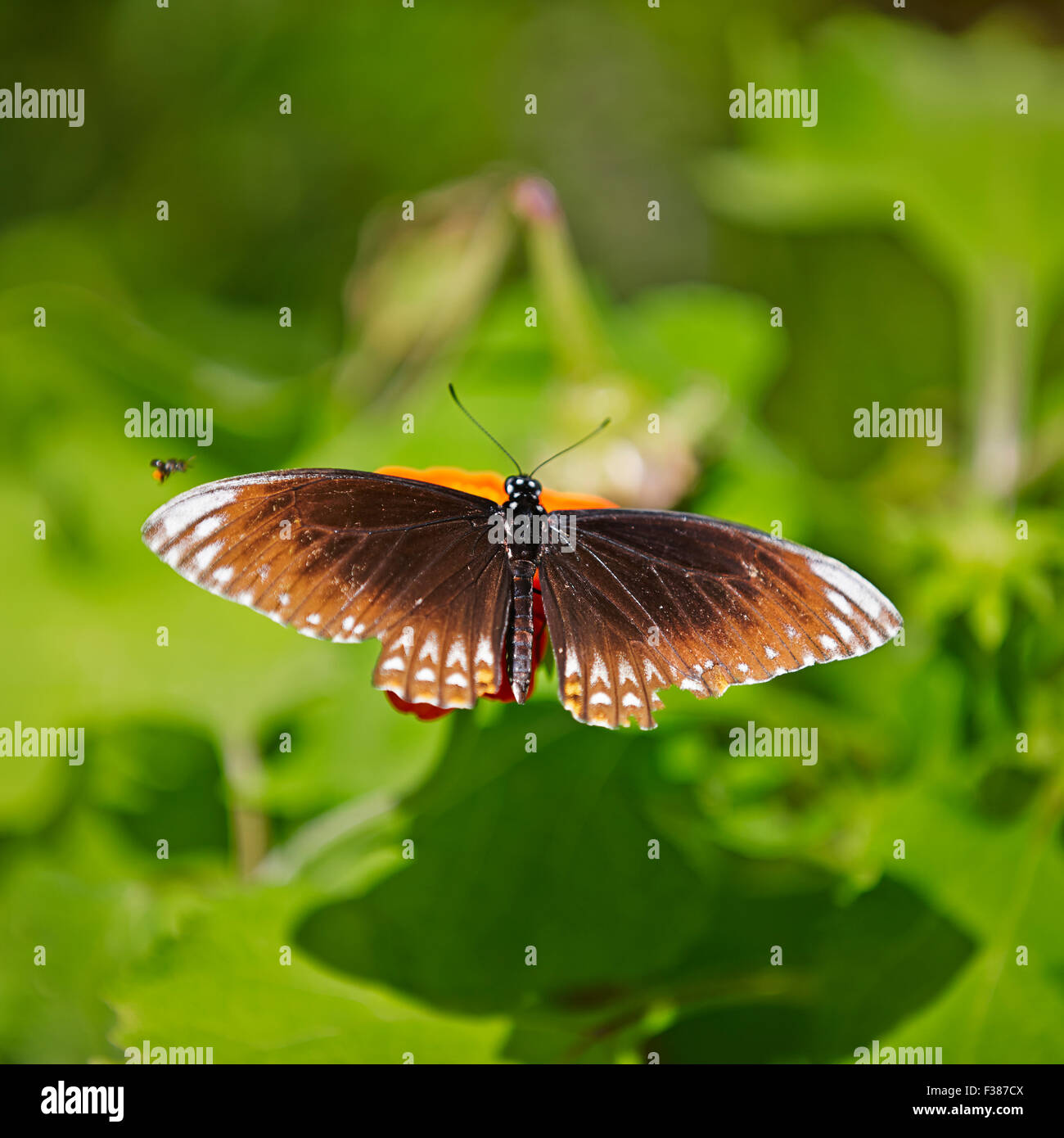 The Common Mime Butterfly, form Clytia. Scientific name: Papilio clytia. Banteay Srei Butterfly Centre, Siem Reap - Stock Image