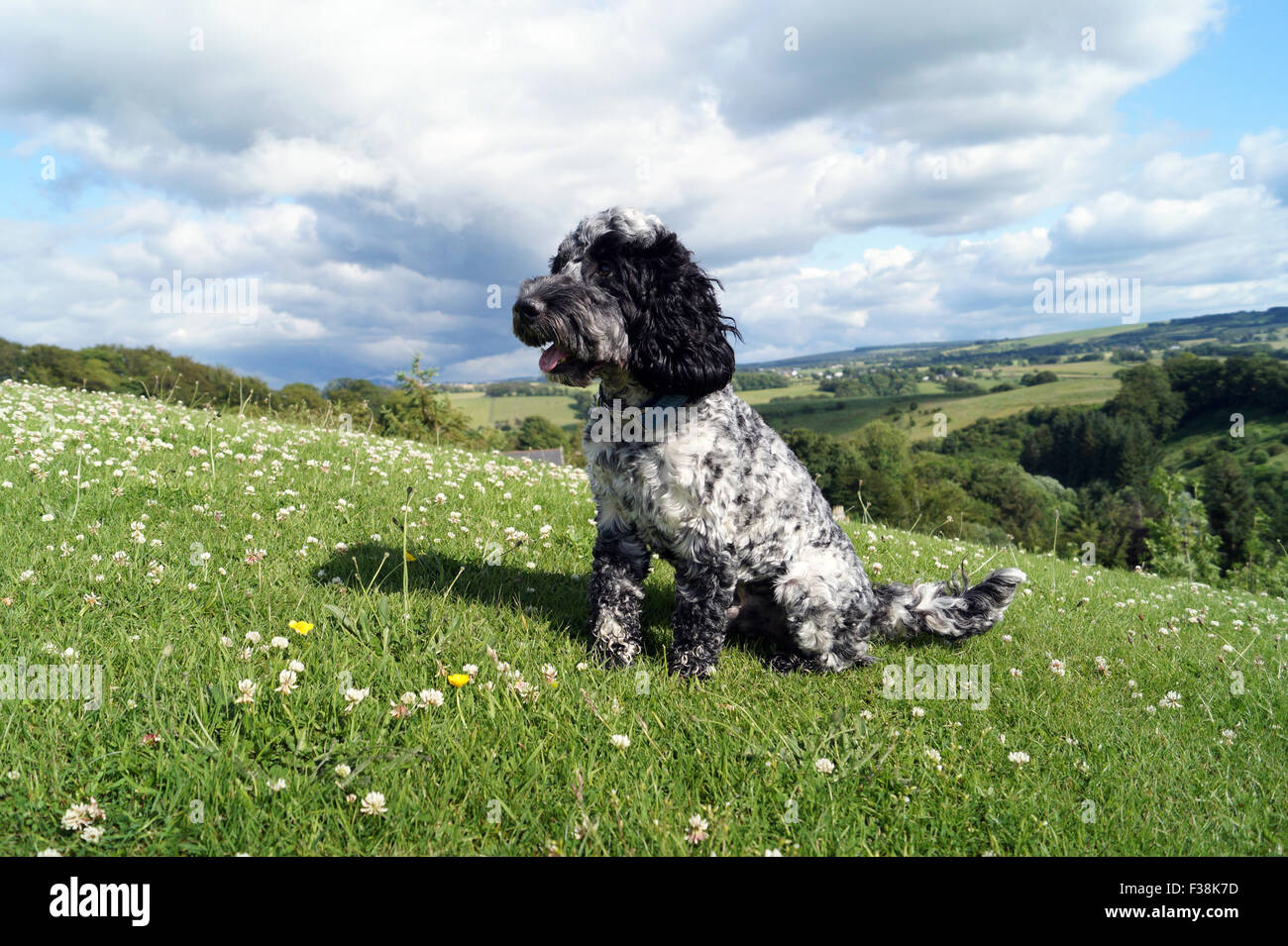 Cute Black & White Cockapoo in Park with Grassy background - Stock Image