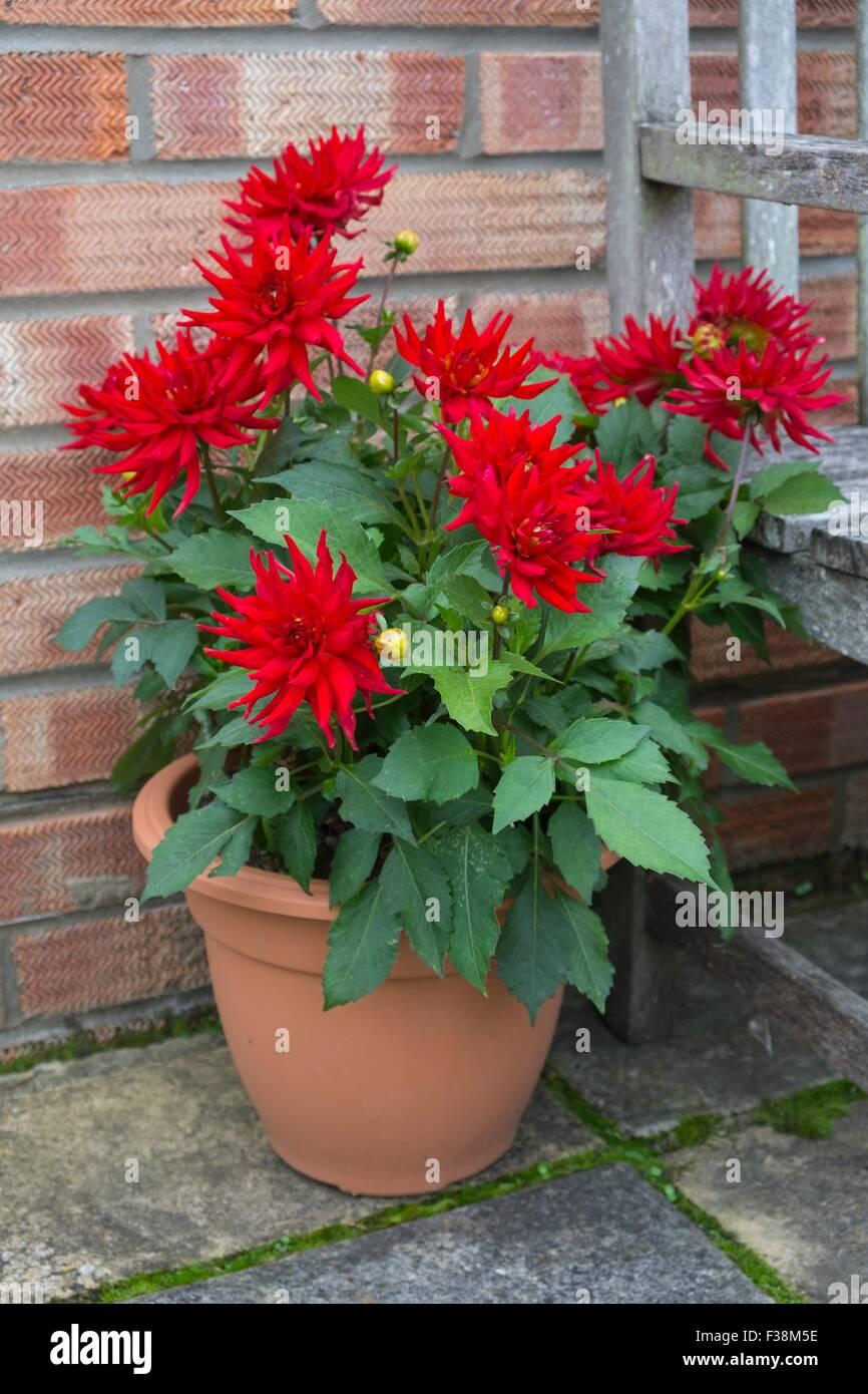 cactus dahlia dahlia 39 red pygmy 39 growing in plastic pot. Black Bedroom Furniture Sets. Home Design Ideas