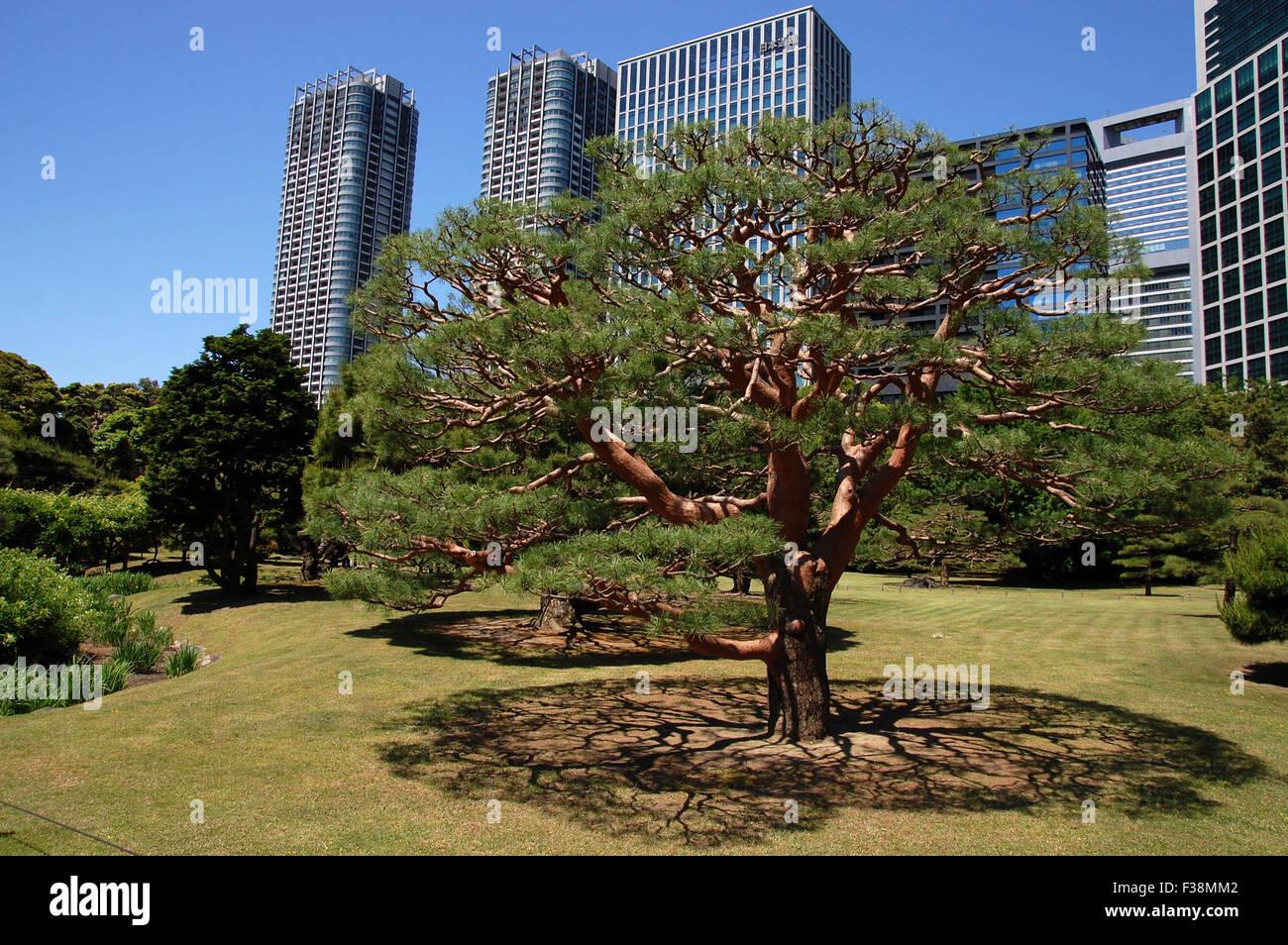 A pine tree in Hama Rikyu Gardens, Tokyo, Japan Stock Photo ...