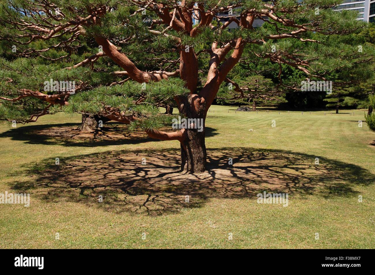 Shadow cast under a pine tree in the Hama Rikyu Gardens, Tokyo ...