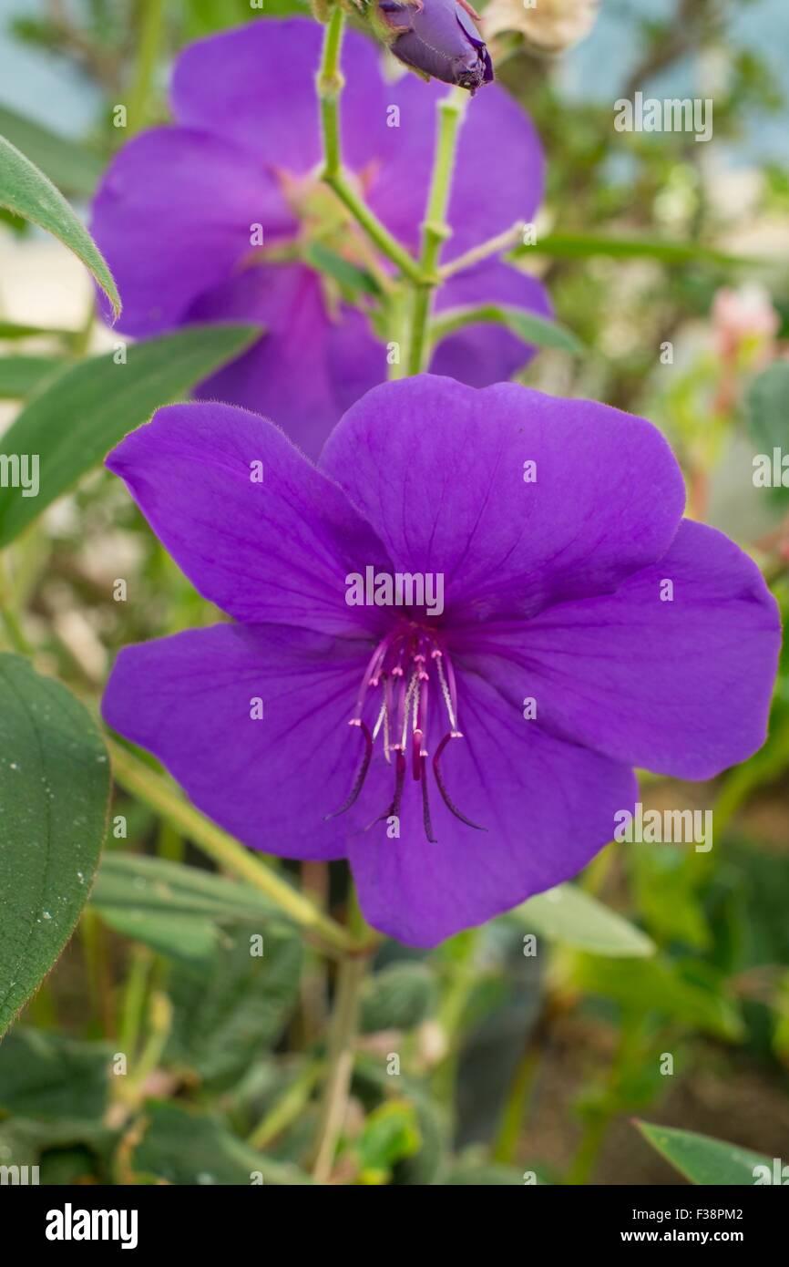 Tibouchina urvilleana - glory bush. Stock Photo