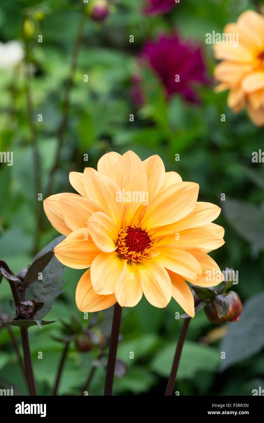 Dahlia 'Summertime' - Stock Image
