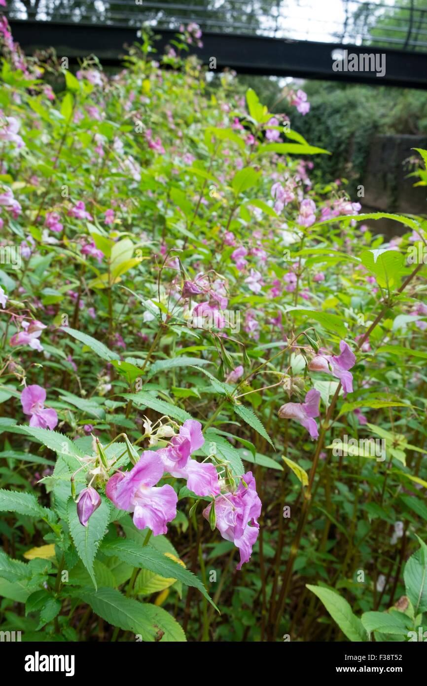 Himalayan balsam - Impatiens glandulifera. Stock Photo