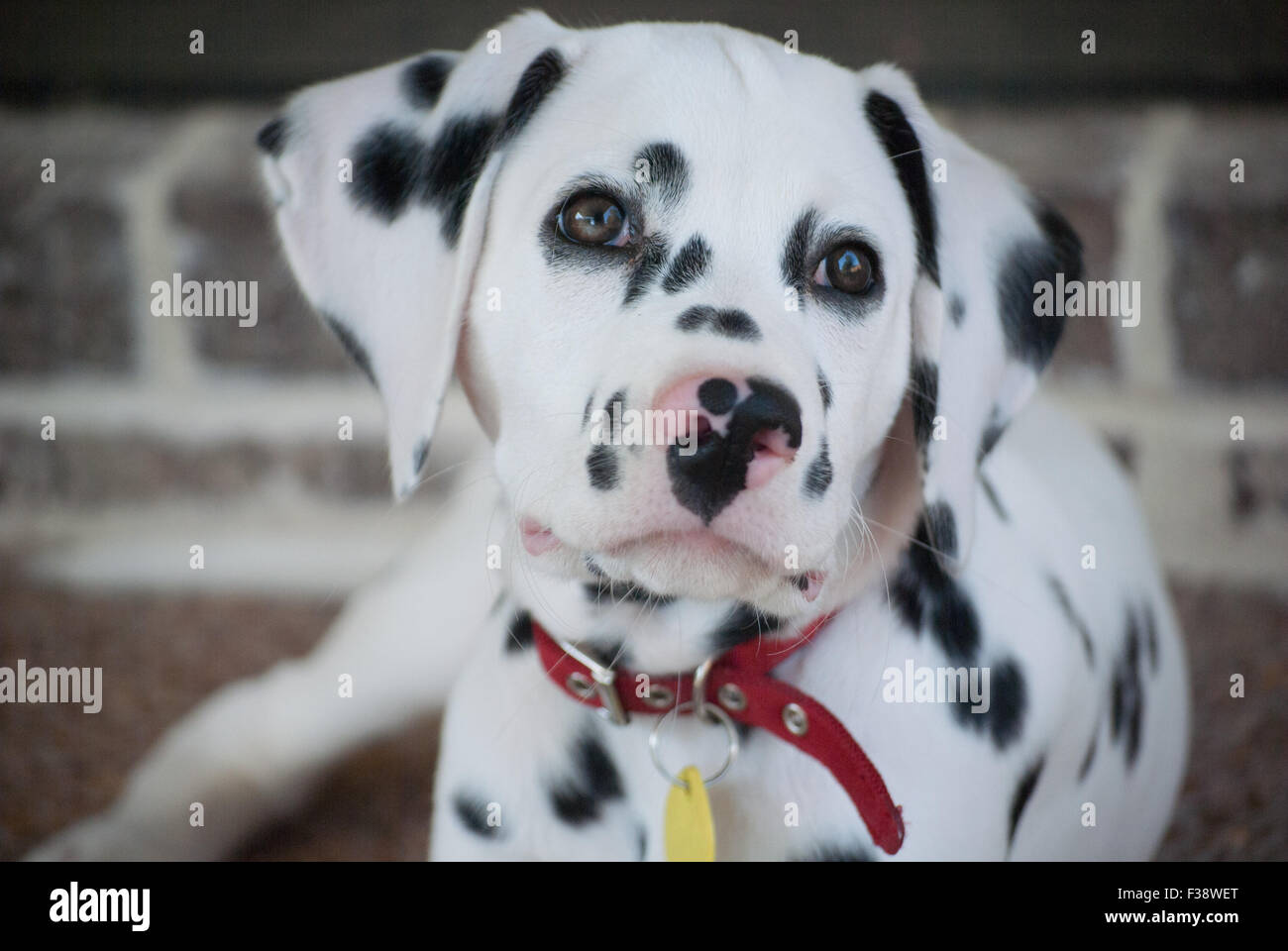 Pure Bred Dalmatian Puppy at 13 weeks old - Stock Image