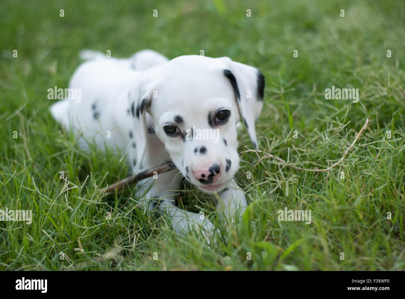 Pure Bred Dalmatian Puppy - Stock Image