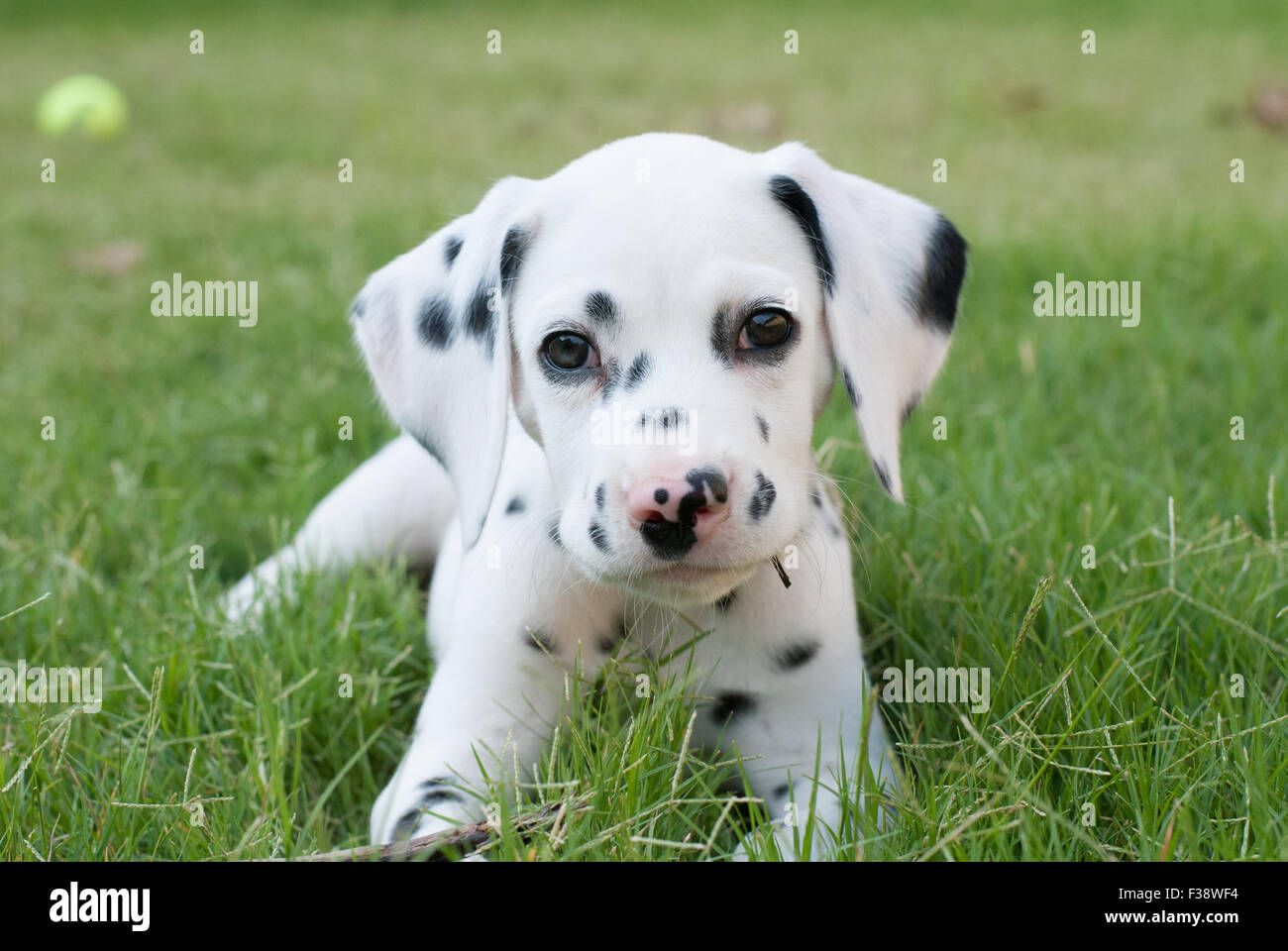 Pure Bred Dalmatian Puppy at 8 weeks old - Stock Image