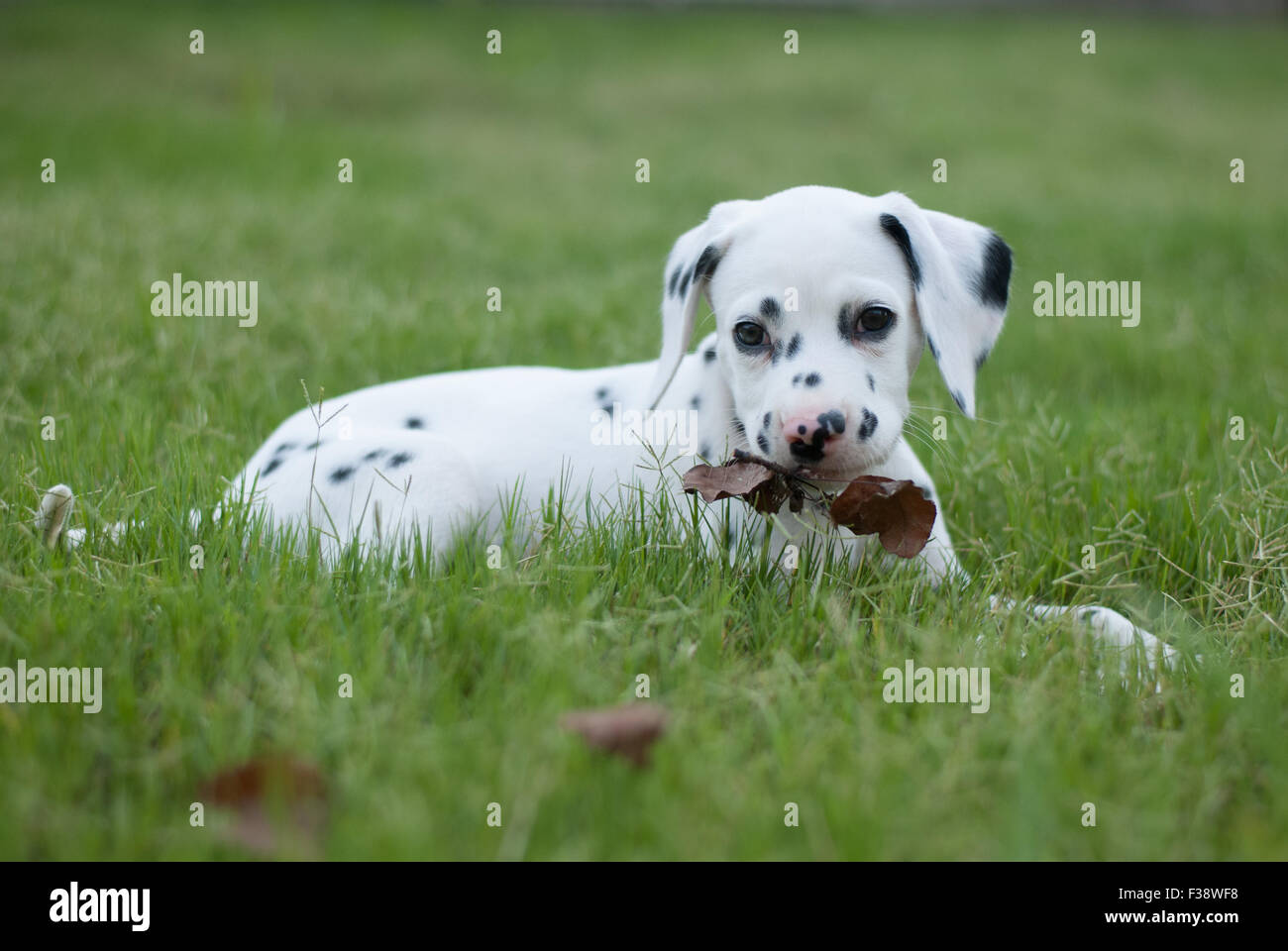 Pure Bred Dalmatian Puppy playing in the grass at 8 weeks old - Stock Image