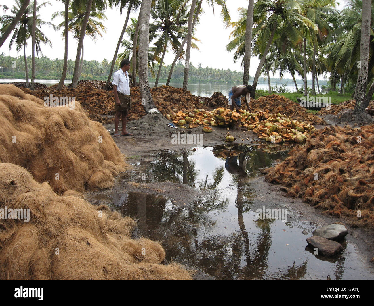 Coconut palm bioindustry, Bio green industry, coconut green husk removed from coconut fruit(near the worker). down Stock Photo