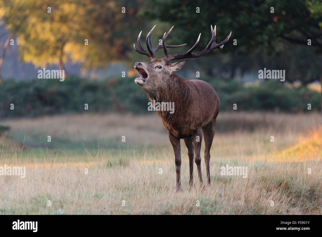 Richmond, London, UK, 1st October, 2015. UK Weather: A stag deer roars during warm and sunny autumn weather in Richmond - Stock Image