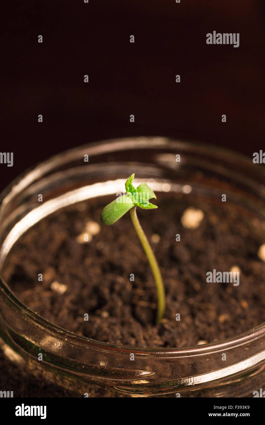 marijuana seeding - Stock Image