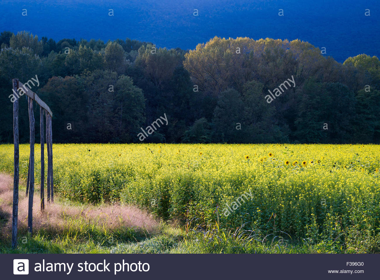 Colza flower field at sunset Stock Photo