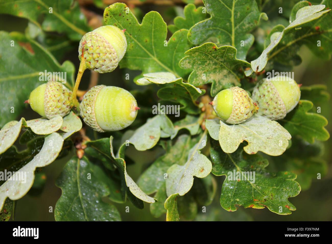Acorns on Pedunculate a.k.a. English Oak - Stock Image