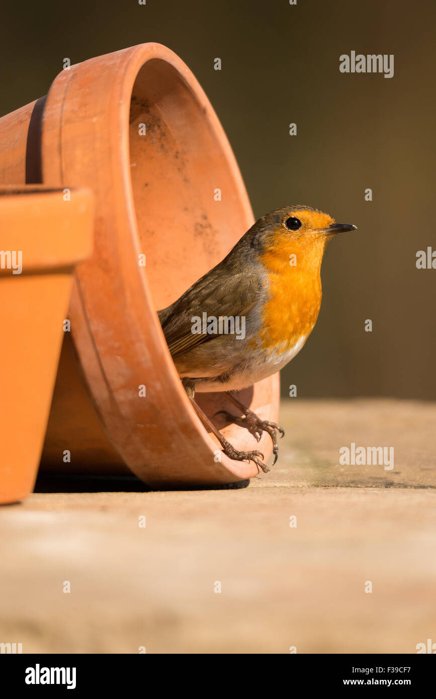 Robin stood in plant pot in morning sunlight - Stock Image