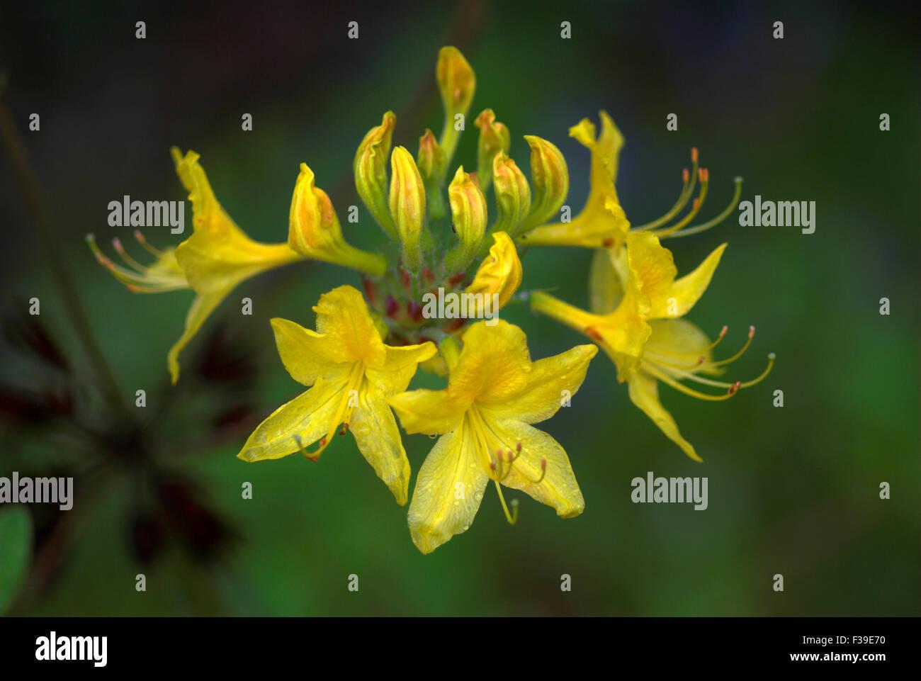 azalea luteum garden shrub - Stock Image