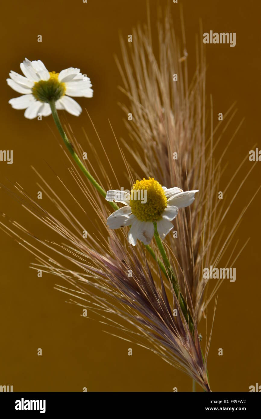 Wildflowers,daisies,flowers,Daisy, two,Virgo,various flowers,yellow daisies,white daisies,in the dirt, flowers,natural - Stock Image