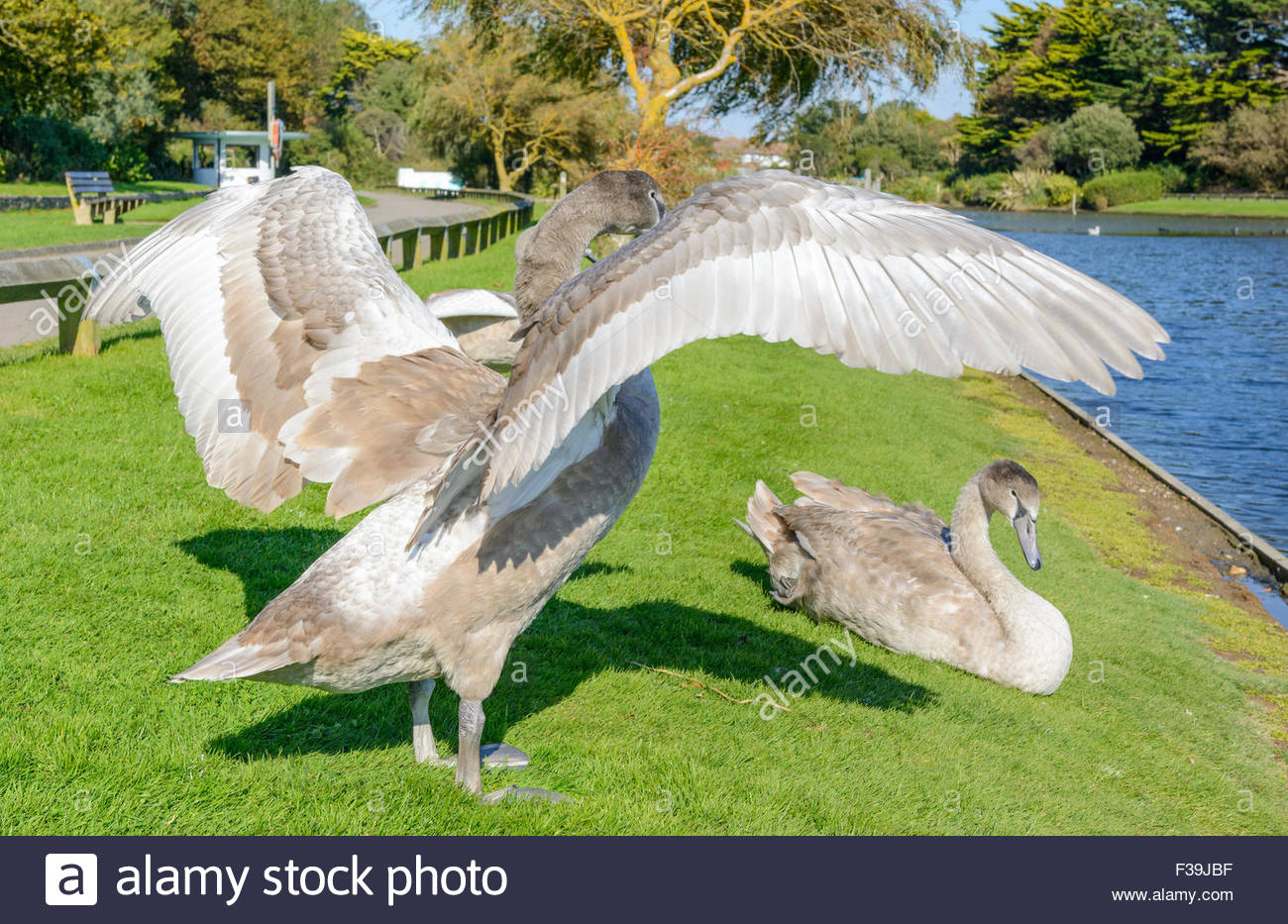Cygnet stretching its wings by a lake in the UK. - Stock Image