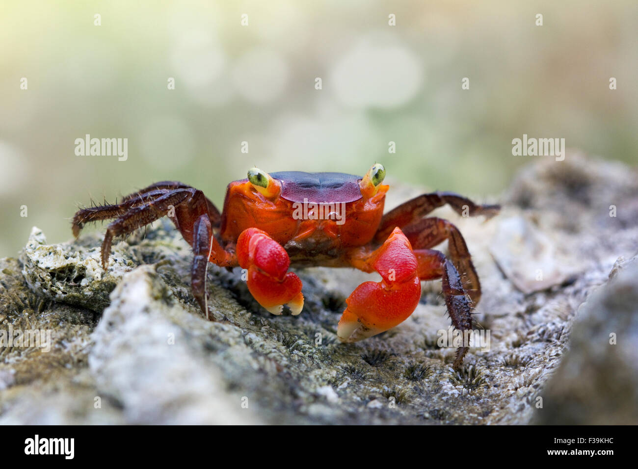 Portrait of a red crab on a rock - Stock Image